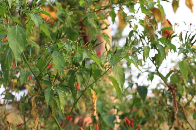Pictured above is red hot chilli peppers growing in KajoKeji, South Sudan