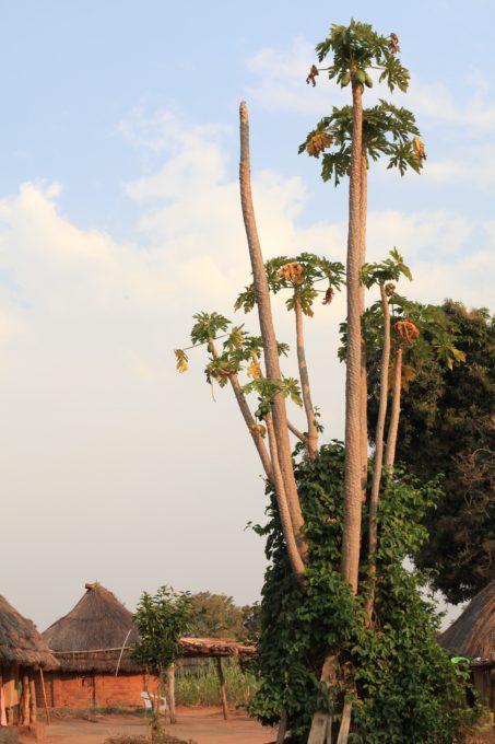 Pictured above are tall papaya trees, Kajokeji, South Sudan